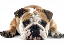 #casting #chien un bulldog pour tournage film avec Victor Belmondo et Gérard Lanvin