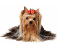 #figurant(e) possédant un #Yorkshire ou petit #chien pour la série #Clem #TF1